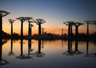 baobabs-en-la-salida-del-sol-cerca-del-agua-con-la-reflexión-madagascar-80662408
