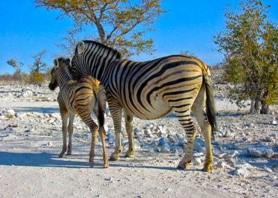 1200px-Zebras_Etosha_Namibia(1)