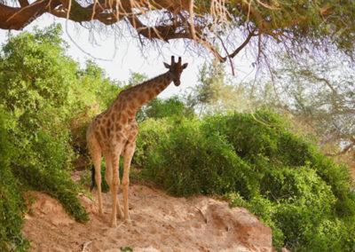 71294916-jirafa-en-el-parque-nacional-de-etosha-en-namibia-sudáfrica