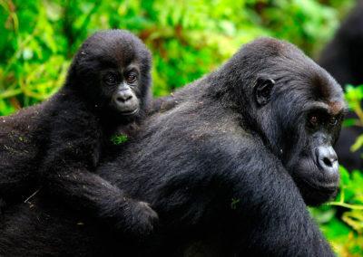 gorilas-orientales-de-llanura