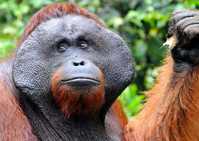 orangutan-borneo-1.png.imgw.1280.1280