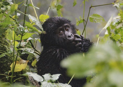 upclose-view-of-a-baby-gorilla-bwindi-national-park-uganda 2048