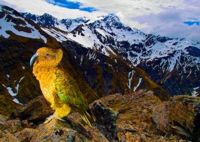 arthurs-pass-national-park-tour-kea