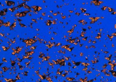 monarca FLY